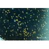 KoralSea - K-Phyto - Phytoplancton vivant pour aquarium - 250ml